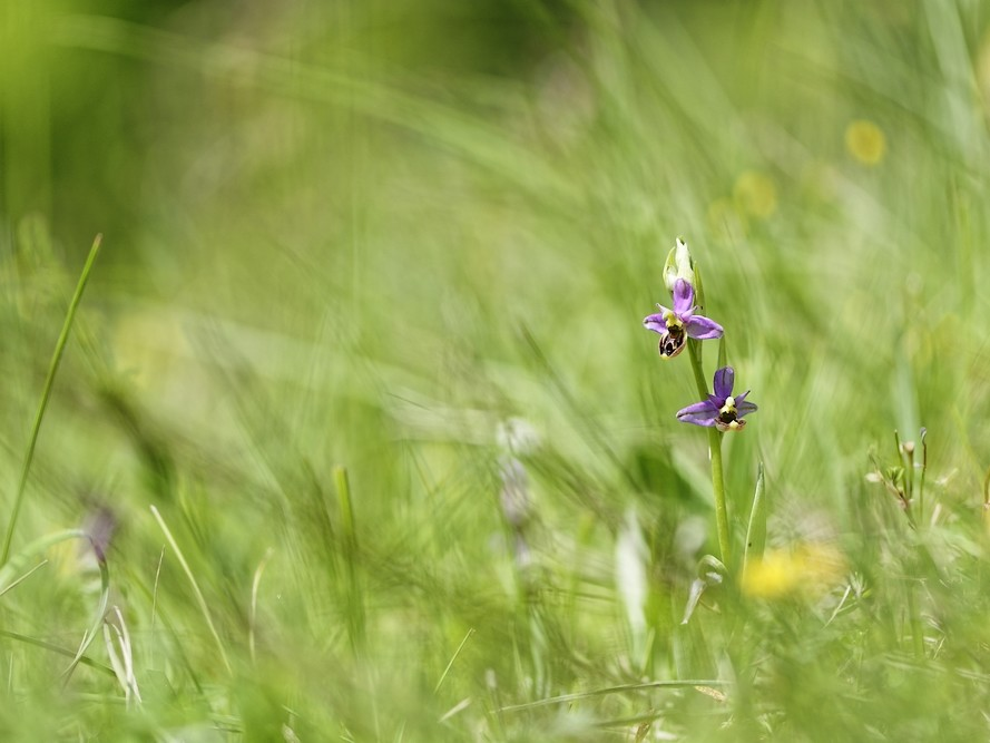 Ophrys fuciflora perdue dans les herbes