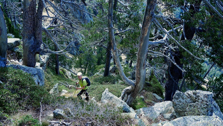 Croupe dans les pins à crochets