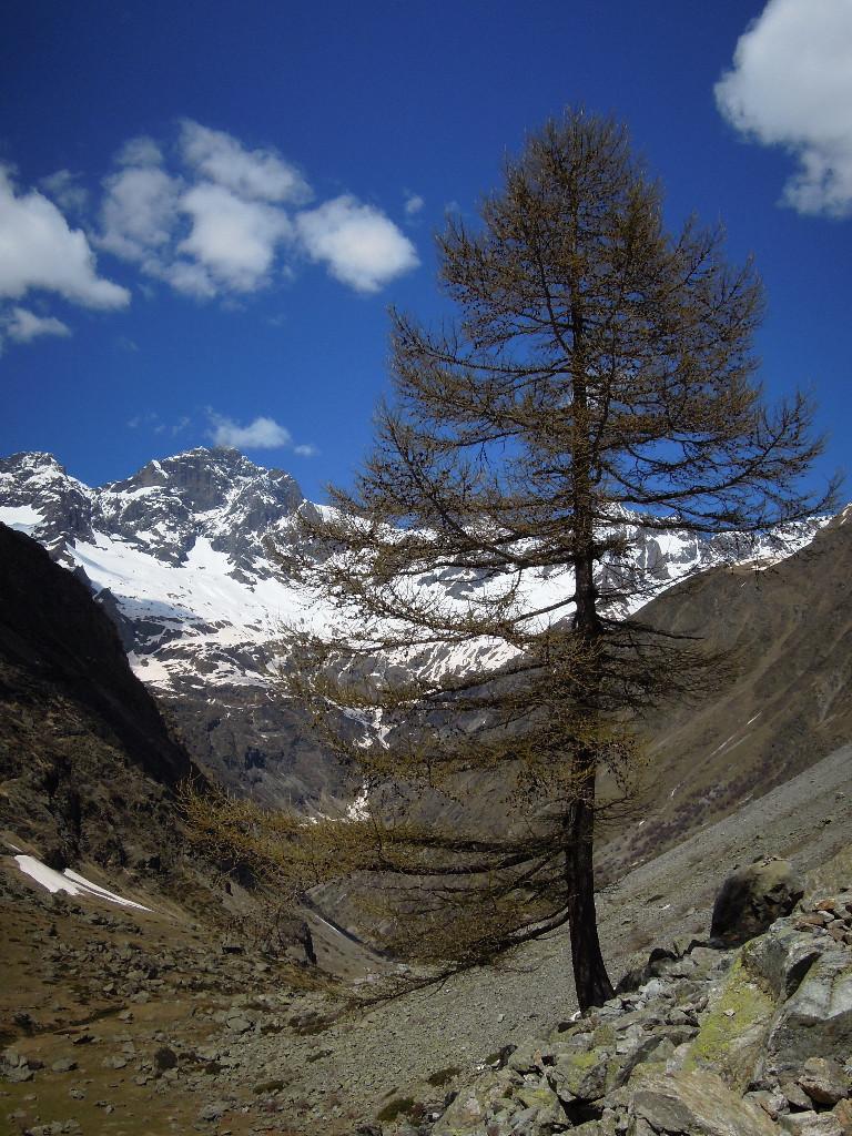 L'Arbre (ce mélèze est le seul vrai arbre rencontré sur le sentier du Ministre ;)