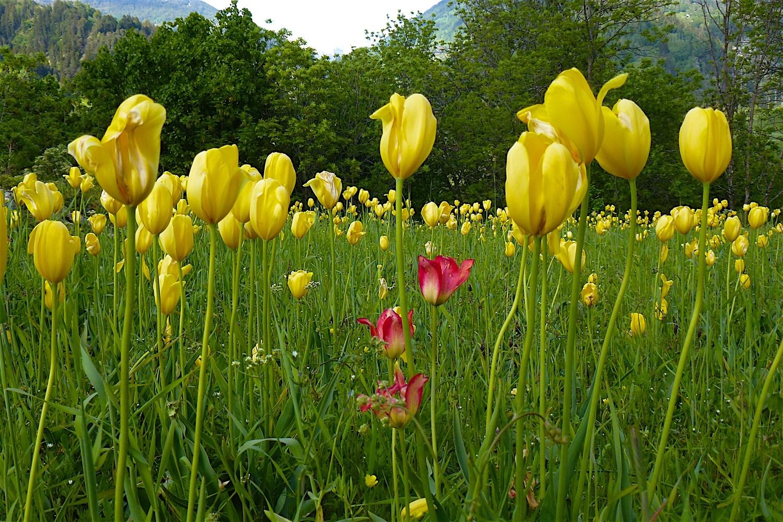 Tulipe originale, unique à Grengiols.