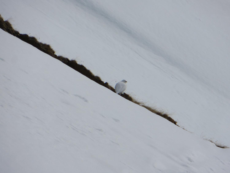Snow chicken - rock ptarmigan (Lagopus muta)