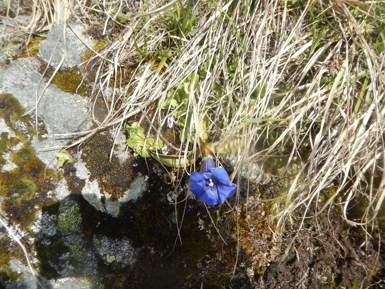Fleur de gentianne