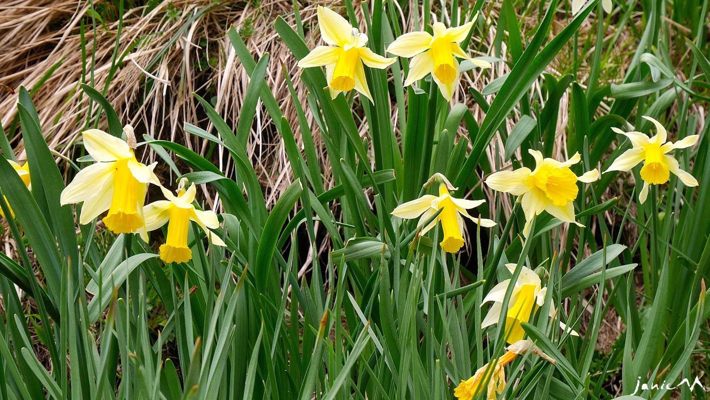 Faux-Narcisse - Amaryllidacées