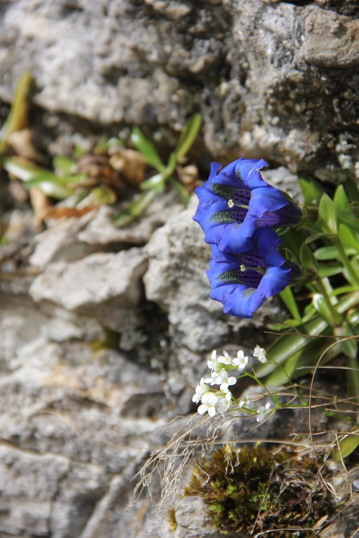 gentianes bleues