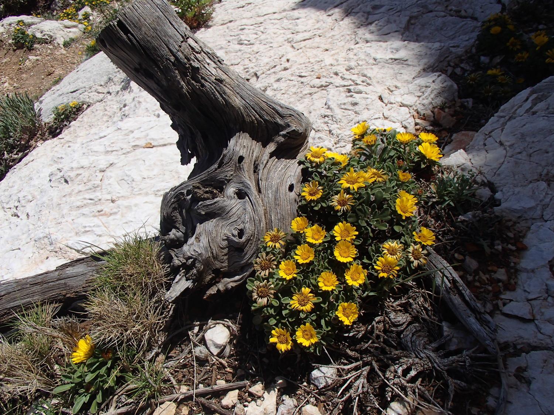 les fleurs d'astérisque maritime au coeur des rochers