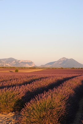 Plateau de Valensole (crédit photo : Thomas Castin)
